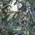 Photo by Sofia 2011 Olive tree at Soul Food Farm, Solano County, CA