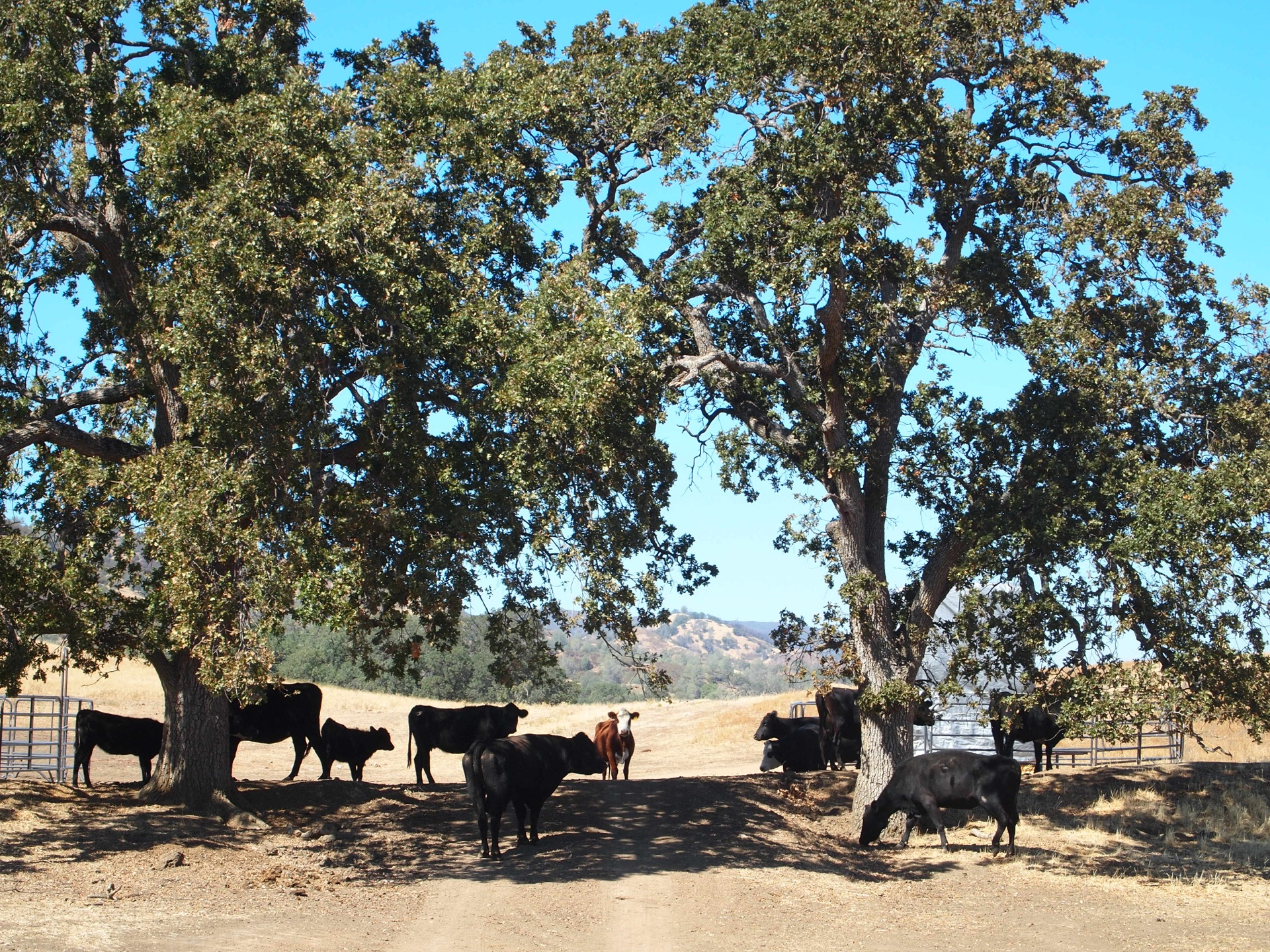 Cattle at the entrance
